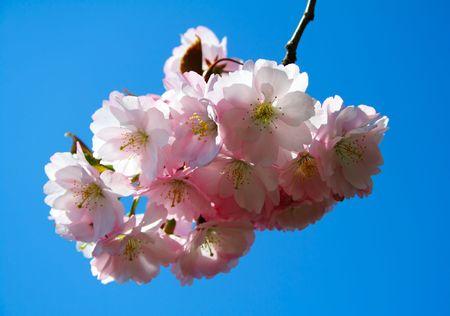 Cherry blossom Stock Photo - 411114