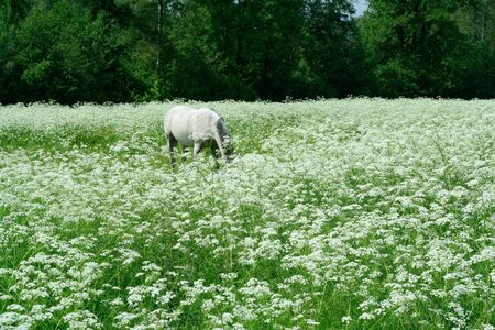 unruffled: Grazing in white meadows