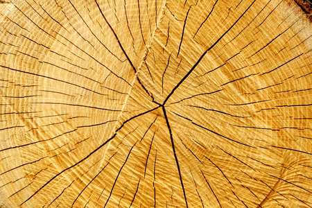 seasoned: Seasoned tree cut