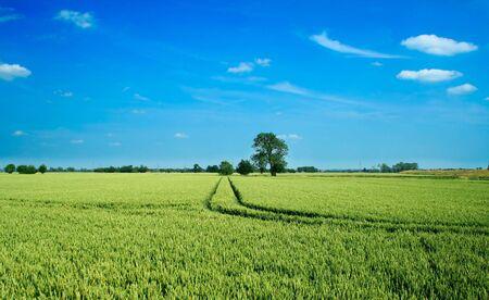 wheatfield: Wheat field landscape Stock Photo