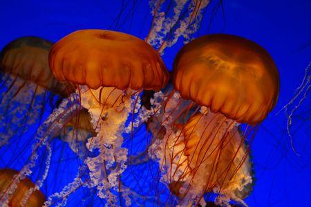 plankton: Mar ortiga medusas