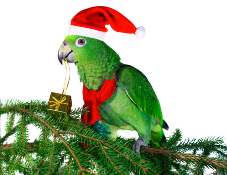 Green amazon parrot holding a golden gift parcel photo