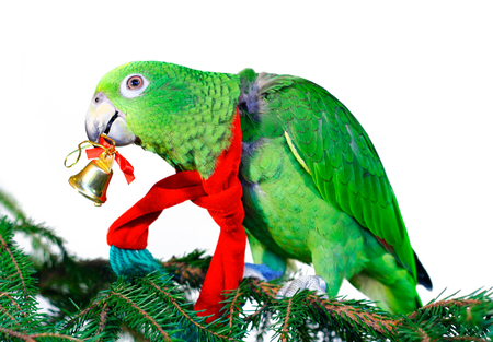 Green amazon parrot with a golden bell sitting on a Christmas tree photo