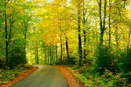 Autumn road through a beech forest photo
