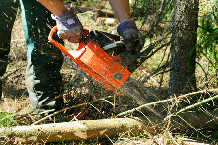 Lumberjack trimming a fir tree log with a chainsaw Stock Photo - 1536891