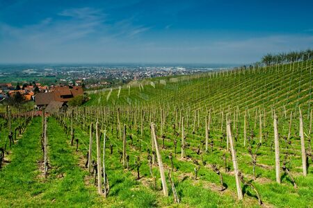 agronomic: Vineyard in Schwarzwald, Germany, in spring time