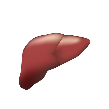 hepatic portal vein: Realistic human liver. Vector medical illustration. Medicine anatomy, organ human, health and biology Illustration