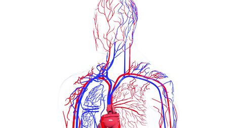 Rotating model of the human circulatory system from head to toe. 3d rendering blood vessels. The medical background, computer generated. Stock Photo