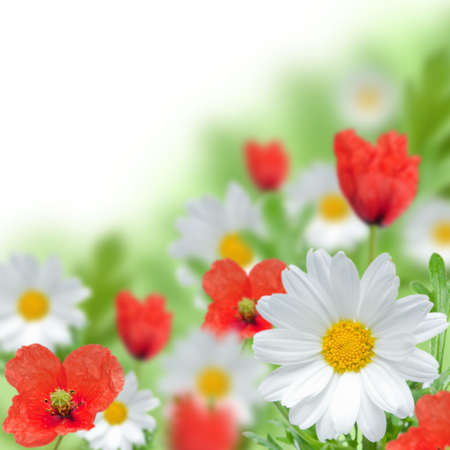 Red poopy and white daisy with white background