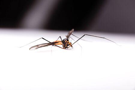 muggy: Orange colored mosquito male over white
