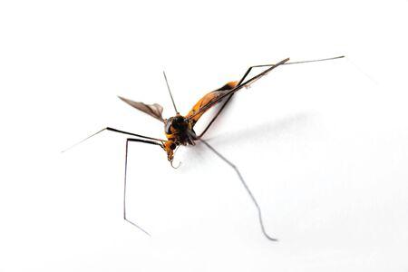 muggy: Orange colored mosquito male over white 2
