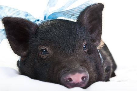 bacon portrait: Lonely black piggy lying down with a blou polka dot ribbon. Stock Photo