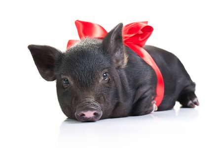 Lazy black piglet with a red ribbon over white.