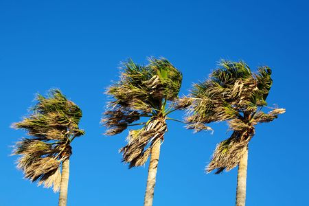 three palm trees: Three palm trees blowing in the wind oon a clear day. Stock Photo