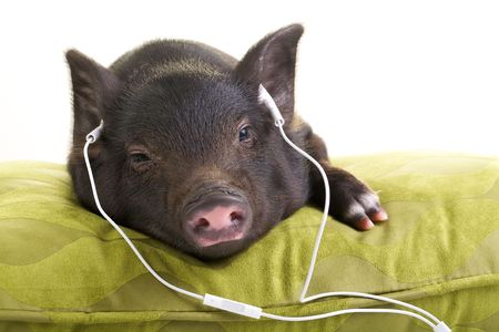 Small black pig lying down on a green pillow and listening to music through white headphones. Stock Photo