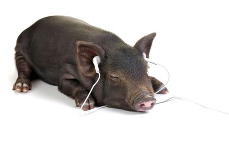 Small black pig lying down and listening to music through white headphones. Stock Photo