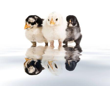 huddling: Three little birds huddling together over a white backdrop.
