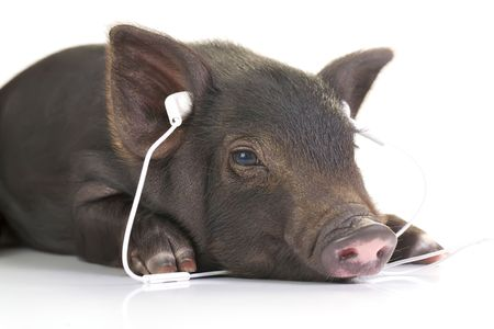 Small black pig lying down and listening to music through white headphones. photo