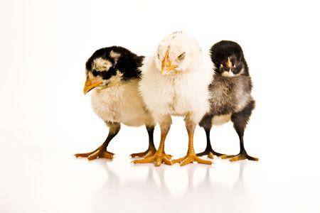Drie baby kuikens staan naast elkaar met hun ogen gesloten.  Stockfoto - 6716443
