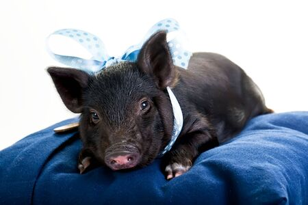 A tired pot bellied pig lying on a pillow with a blue ribbon around its neck