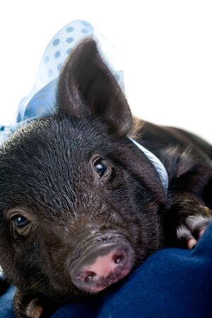 bacon portrait: A tired pot bellied pig lying on a pillow with a blue ribbon around its neck