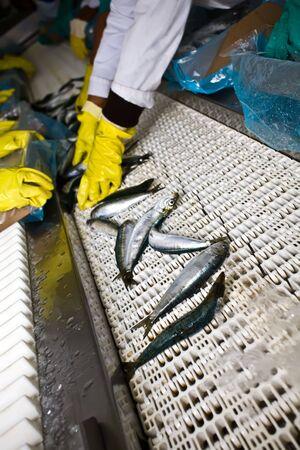 fisch eis: Arbeitnehmer in einer Fabrik, die Sortierung Fisch verkauft werden