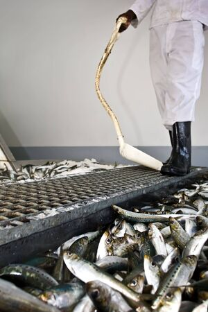 A factory worker examines the selection of fish that have been not chosen to be sold photo