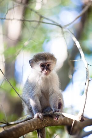 animal behavior: South African Blue monkey sitting in a tree. Stock Photo