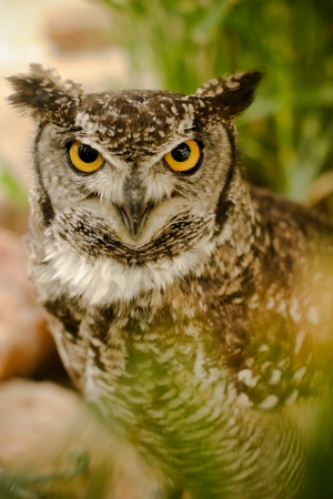 wise old owl: Yellow eyed owl with a serious, hard look Stock Photo