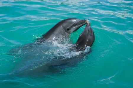 Two dolphins which is in love playing around in the ocean  photo