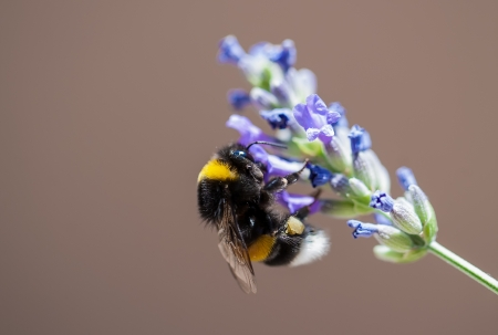 pollinator: The black and yellow bee is sitting on the purple flower