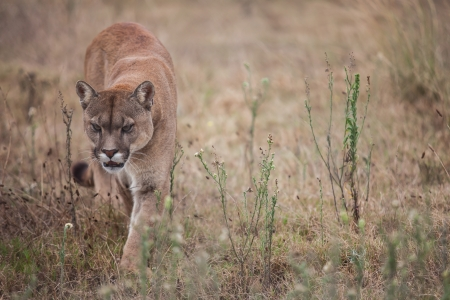 The puma is walking in the field looking for prey. Stock Photo