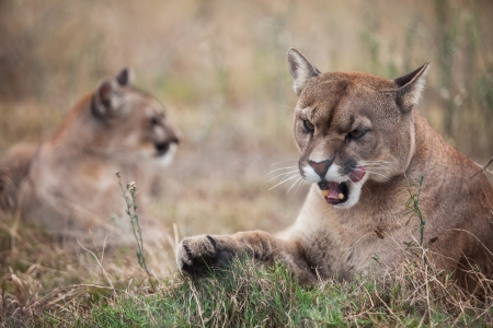The two pumas are laying on the ground and one with a piece of meat. photo