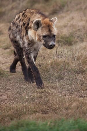 The hyena is walking around in the closed of area. photo