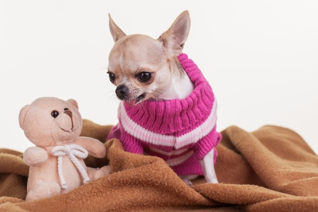 A chihuahua with her teddy and blankie.
