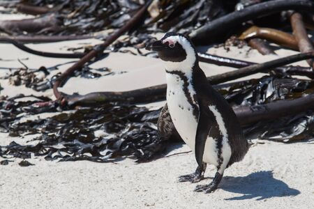 seem: The small black Cape penguin seem to have lost his way