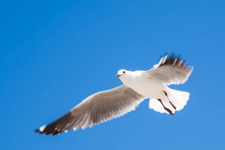 sea gull: The seagull is flying over the ocean
