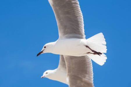 sea bird: Two seagulls in the sky are flying around.