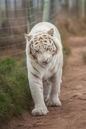 catamountain: The white Bengal tiger are walking along the fence. Stock Photo