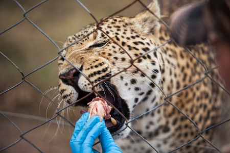 feeding through: A young girl are  feeding the leopadr through the fence. Stock Photo