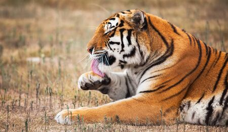 panthera tigris: He is cleaning and washing himeself.