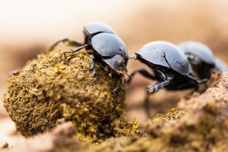 Drie mestkevers werken heel hard samen. Stockfoto