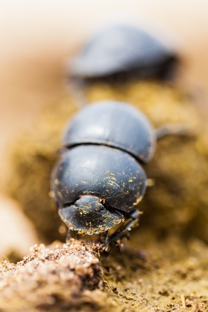 dung: Two dung beetles working really hard together. Stock Photo