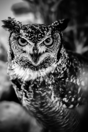 Yellow eyed owl staring right into the lens 2