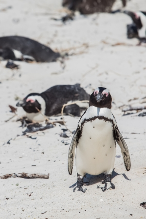 The Cape penguin is having a good time in the summer sun  Stock Photo - 17222783