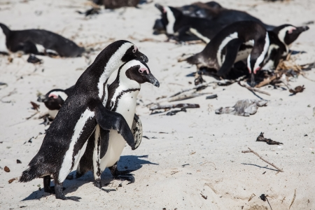 The Cape penguin is having a good time in the summer sun  photo