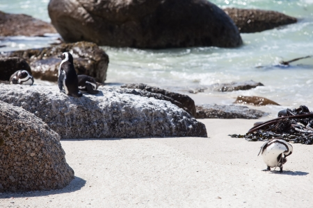 The Cape penguin is having a good time in the summer sun. Stock Photo - 17222998