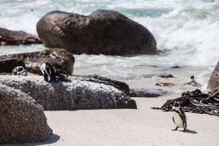 The Cape Penguin on his way out of the ocean. Stock Photo - 17223063