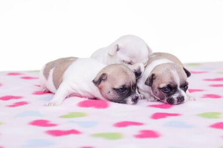 next to each other: Three small chihuahua puppies next to each other on a blanket. Stock Photo