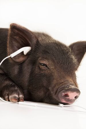 potbelly: A small potbelly pig with earphones in the ears.